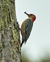Red-bellied Woodpecker (Melanerpes carolinus). Historic Old Northeast. St. Petersburg, Florida. Image taken with a Nikon D4 camera and 80-400 mm VRII lens.