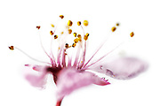 Fiore di prugno selvatico / wild plum flower <br /> Foto Antonietta Baldassarre