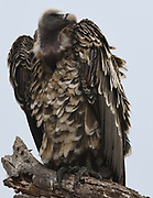 Ruppell's vulture or Ruppell's griffon vulture (Gyps rueppelli) perching on a dead tree. Tarangire National Park, Tanzania.