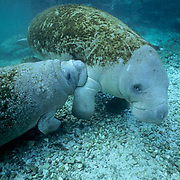 West Indian Manatee, (Trichechus manatus) Calf nursing from cow in freshwater spring. Florida.