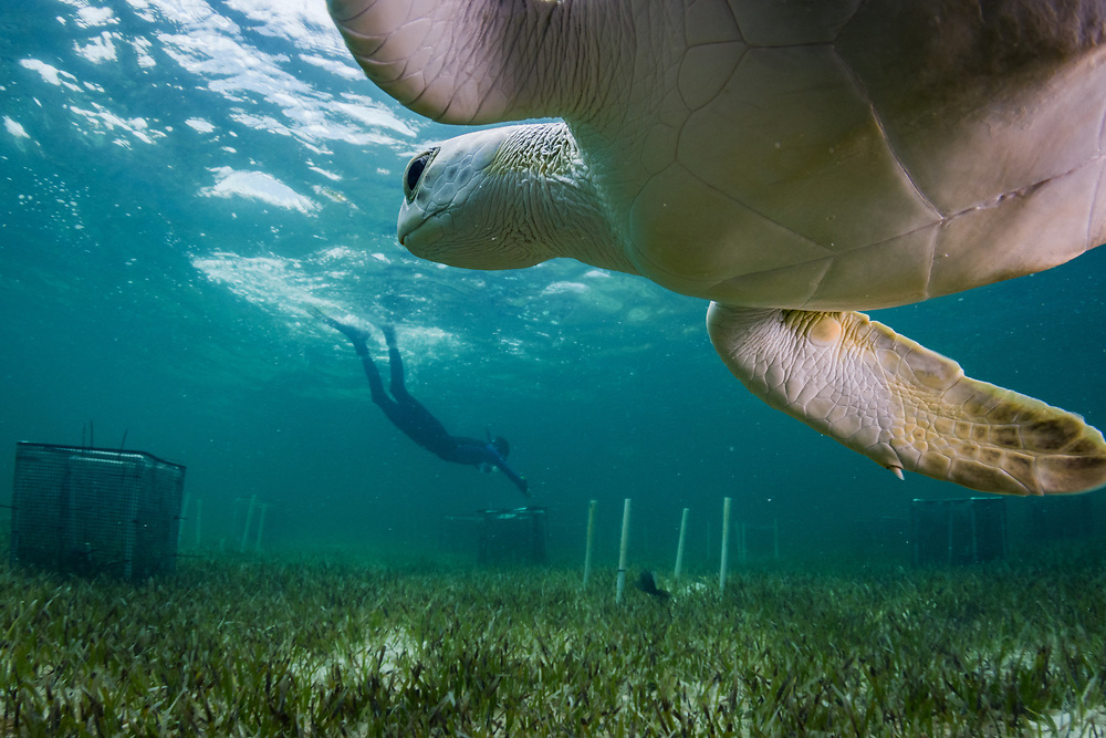 A green sea turtle (Chelonia mydas) happens upon a seagrass researcher with CORE sciences in The Bahamas. The goal of the research is to understand the effects of grazing on seagrass by animals like turtles, parrot fish, and manatees.