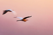 A motion-blur of great white egrets (Ardea alba) flying at sunset, Okavango Delta, Moremi, Botswana