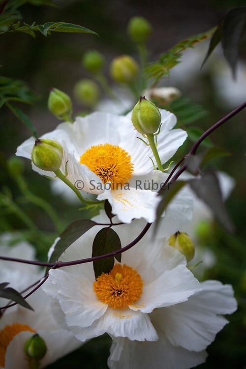 Romneya coulteri 'White Cloud' - Californian tree poppy