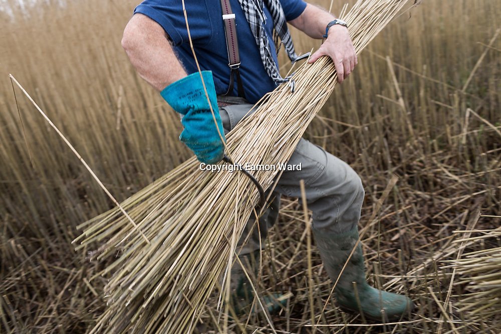 Brendan Stewart is one of the few remaining reed cutters still harvesting along the Bunratty reed beds on the Shannon Estuary. The backbreaking work involves the reed being harvested after the first frosts which strip off all of the leaves and you are left with a golden stem 5 to 7 feet in height. <br /> A roof thatched with water reed can last up to 40 years in Ireland. In recent years, imported reed from Eastern Europe has taken its toll on the numbers keeping the tradition here alive.