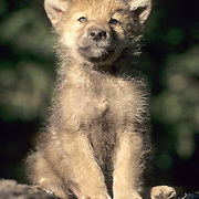 Gray Wolf, (Canis lupus) Young pup. Spring. Rocky mountains. Montana.  Captive Animal.