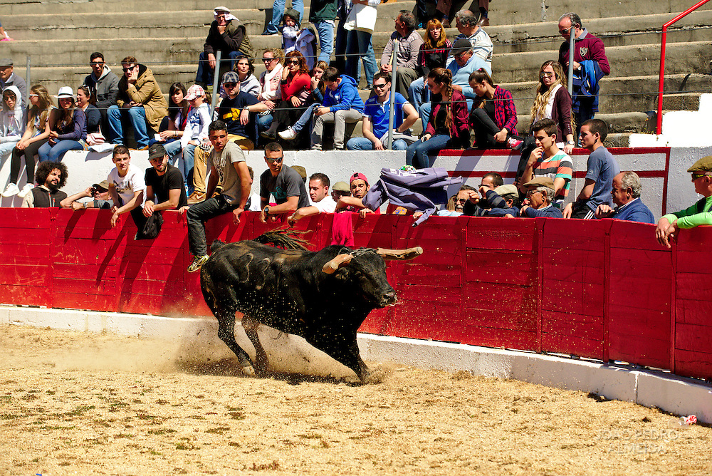 Trialing the bulls after they arrive to the arena