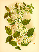 Clematis virginiana (also known as devil's darning needles, devil's hair, love vine, traveller's joy, virgin's bower, Virginia virgin's bower, wild hops, and woodbine; from the book Beautiful wild flowers of America : from original water-color drawings after nature by  Isaac Sprague, 1811-1895 Published by Troy, Nims and Knights in New York in 1884 With Descriptive text by Rev. A. B. HERVEY