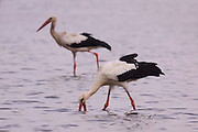 White Stork (Ciconia ciconia) foraging for food in a water pool. White storks are very large wading birds that feed on fish, frogs and insects, as well as small reptiles, rodents and smaller birds. They migrate annually from Europe to Sub-Saharan Africa. Photographed in Israel, in August