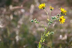 Engelmann's daisy (Engelmannia peristenia)  on native Blackland Prairie at the Frankfurt Prairie Preserve, Dallas Texas, USA. (Tentative ID).