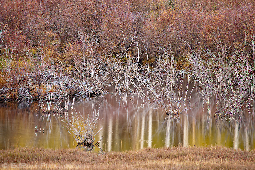 A beaver pond and lodge in autumn color in the Uncompahgre National Forest, San Juan Mountains, SW Colorado, USA