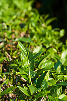 Chine, Province du Yunnan, region de Pu'er, champ de thé, feuille de thé // China, Yunnan, Pu'er district, tea field, tea leaves