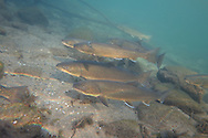 Group of Bull Trout<br />