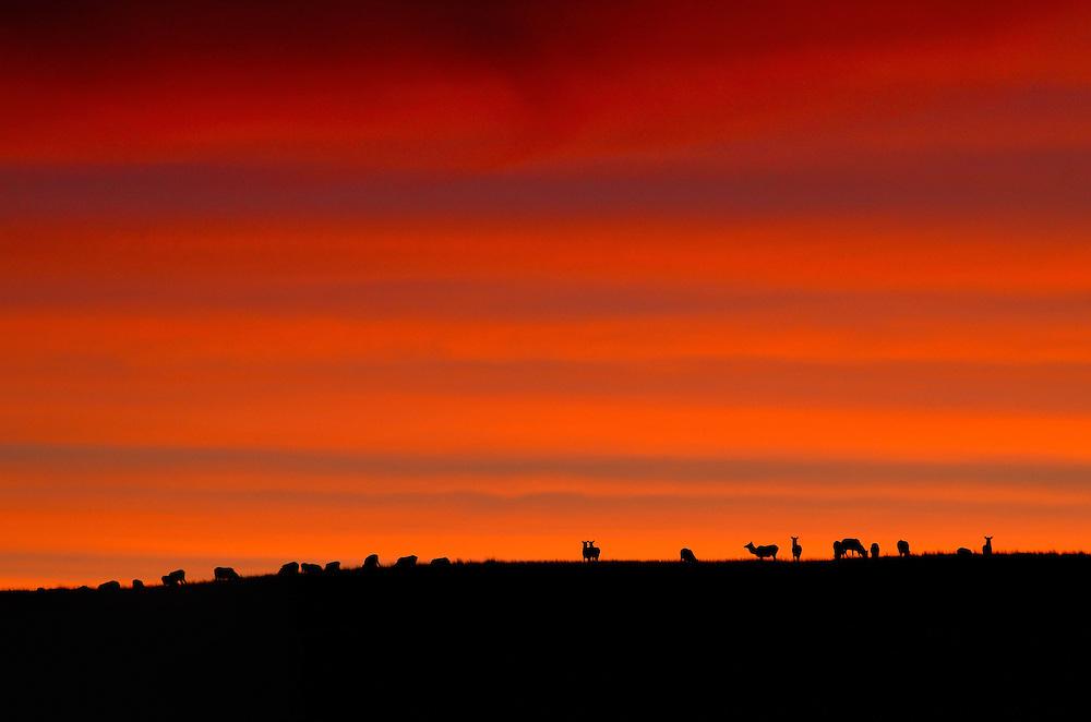 Elk herd on ridge at sunset.  Zumwalt Prairie Preserve, Northeast Oregon.