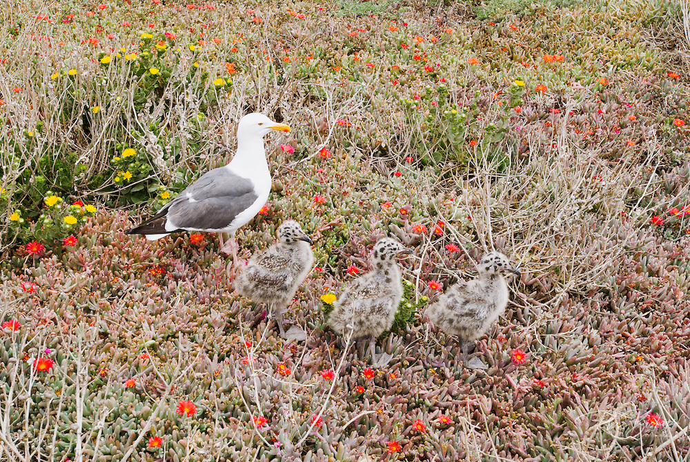 Western gull (Larus occidentalis) and chicks, Anacapa Island, Channel Islands National Park, California