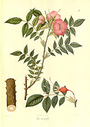 Rosa macrophylla wild rose From Plantae Asiaticae rariores, or, Descriptions and figures of a select number of unpublished East Indian plants Volume II by N. Wallich. Nathaniel Wolff Wallich FRS FRSE (28 January 1786 – 28 April 1854) was a surgeon and botanist of Danish origin who worked in India, initially in the Danish settlement near Calcutta and later for the Danish East India Company and the British East India Company. He was involved in the early development of the Calcutta Botanical Garden, describing many new plant species and developing a large herbarium collection which was distributed to collections in Europe. Several of the plants that he collected were named after him. Published in London in 1831