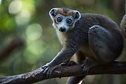 Crowned lemur (Eulemur coronatus)<br /> East Madagascar<br /> Palmarium<br /> MADAGASCAR<br /> ENDEMIC<br /> Critically endangered