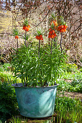 Fritillaria imperialis - Crown Imperial - in a blue metal pot at Glebe Cottage.