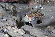 The Twinspot Goby sports two large circular black coloured spots on its upper fins.  The spots resemble, at a distance, two large eyes that may cause a potential predator to believe the two spots are the eyes of a larger animal, such as a crab.  Furthermore, the spots are located on the fins of the goby; if a predator did attack the fish there is a chance that all it would bite would be some of the fin