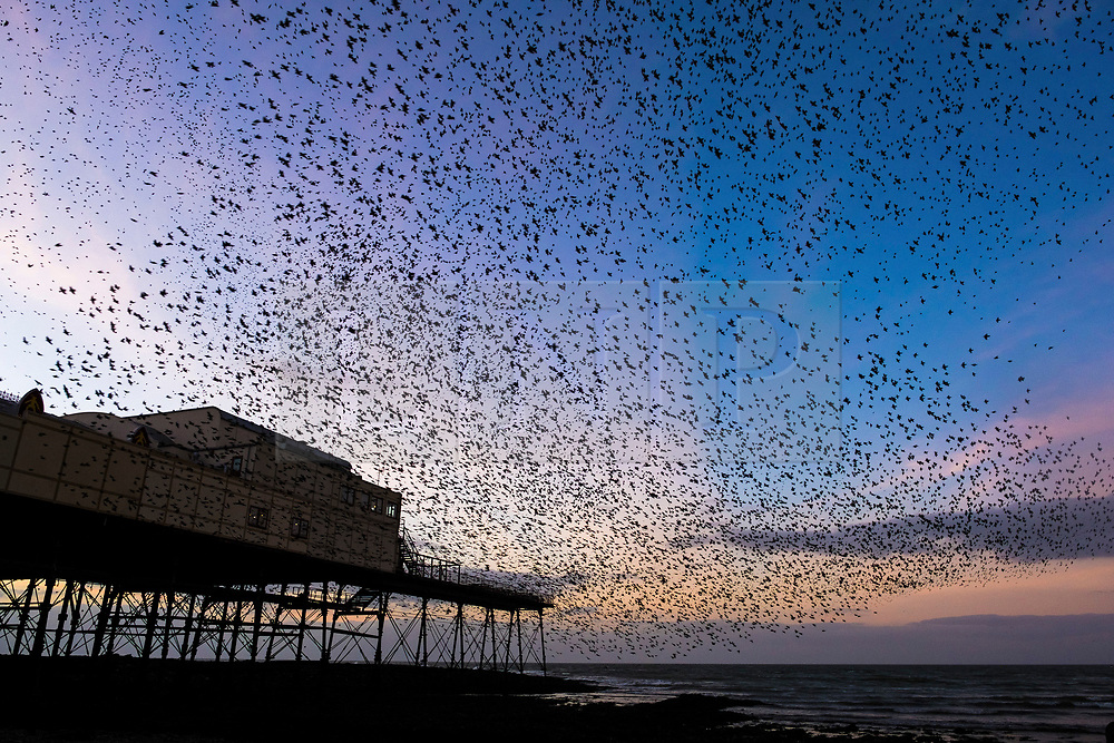 © Licensed to London News Pictures. 08/01/2019. Aberystwyth, UK. On a clear cold evening, after a day of winter sunshine, flocks of thousands of starlings fly in murmurations in the sky before they return from their daily feeding grounds to roost for the night on the cast iron legs of the Victorian seaside pier at Aberystwyth. Photo credit: Keith Morris/LNP