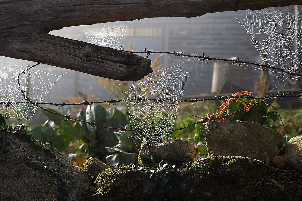 Spider webs hang from a barbed wire fence on a farm along the Camino de Santiago between Sarria and Portomarin, Galicia, Spain.