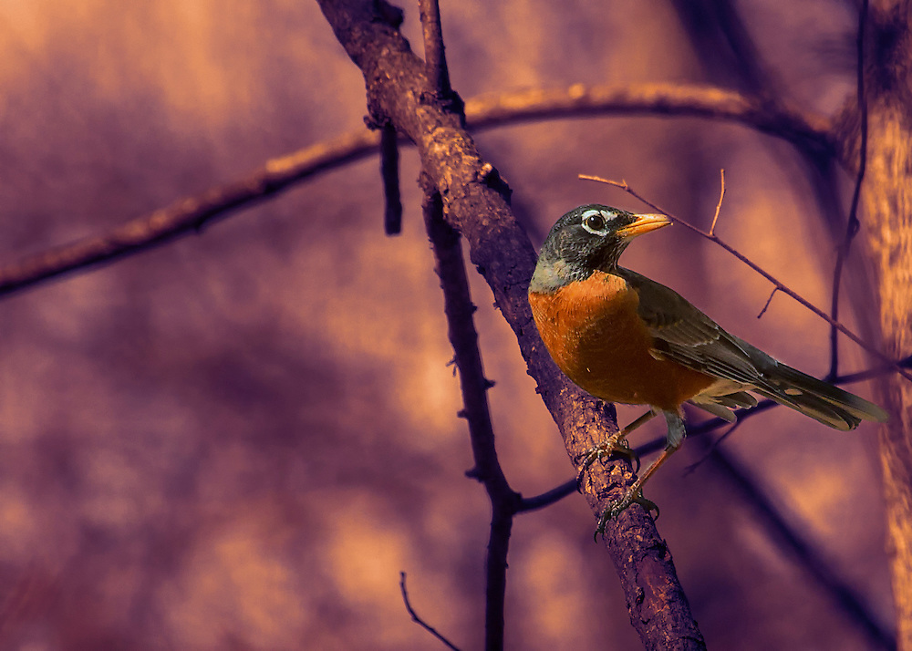 A Robin Perched In A Tree With Violet Light