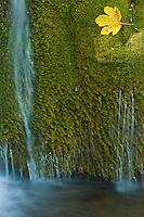 Cascade detail with mosses and maple leaf, Kosjak lake, Plitvice National Park, Croatia