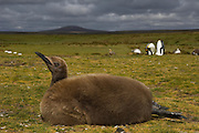 King Penguin Chick (Aptenodytes p. patagonica). Also known as Oakum Boy.<br /> Volunteer Point, Johnson's Harbour, East Falkland Island. FALKLAND ISLANDS.<br /> RANGE: Circumpolar, breeding on Subantarctic Islands. Extensive colonies found in South Georgia, Marion, Crozet, Kerguelen and Macquarie Islands. The Falklands represent its most northerly range. They are highly gregarious which probably accounts for it common association with colonies of Gentoo Penguins.<br /> King Penguins are the largest and most colourful penguins found in the Falklands. They have a unique breeding cycle. The incubation of one egg lasts for 54-55 days and chick rearing 11-12 months. As the complete cycle takes more than one year a pair will generally only breed twice in three years.