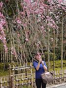 Japan, Honshu, Kyoto, Kinkakuji local woman admires the blossoms
