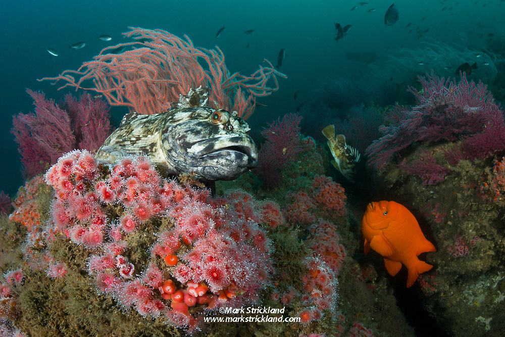 A cabezon or marbled sculpin,  Scorpaenichthys marmoratus, perches among anemones and soft corals as a garibaldi,  garibaldi, Hypsypops rubicundus, hovers in an adjoining crevice. Santa Cruz Island, Channel Islands, California, Pacific Ocean