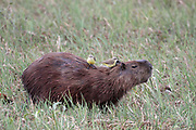 Capybara, Hydrochereus, hydrochaeris, with Cattle Tyrant picking at wounds, Brazil