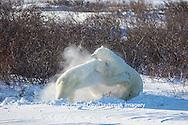 01874-13516 Polar Bears (Ursus maritimus) sparring, Churchill Wildlife Management Area, Churchill, MB