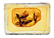 Insects in amber from the Humboldt Museum in Berlin.