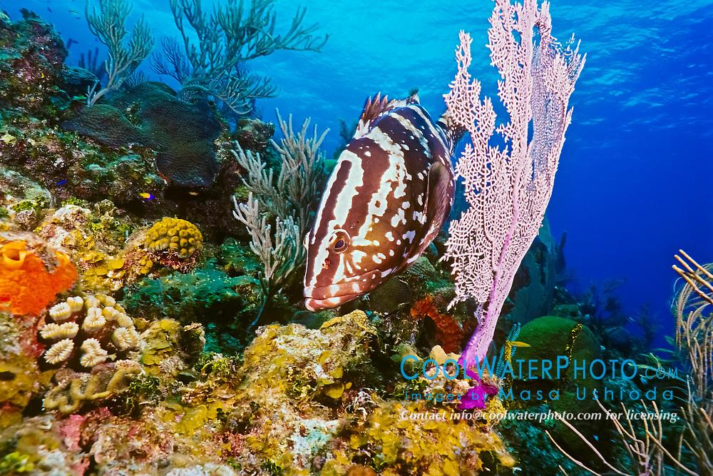 Nassau grouper, Epinephelus striatus, hunting for a reef fish prey, camouflaging itself as a part of sea fan, Bloody Bay Wall, Little Cayman, Cayman Islands, Caribbean Sea, Atlantic Ocean