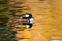 A male hooded merganser in a small pond in Medina, Washington.