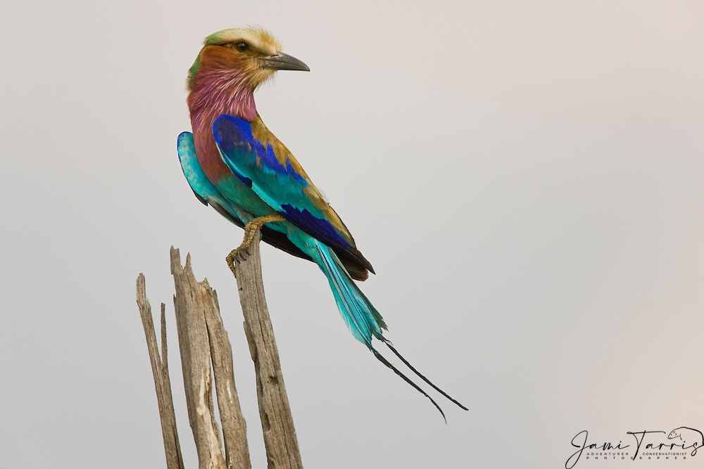 Portrait of a lilacbreasted roller (Coracias caudata) sitting on a branch, Moremi, Botswana