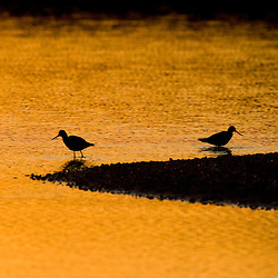 Shorebirds at sunrise at the mouth of the Connecticut River in Old Lyme, Connecticut.  The Nature Conservancy's Griswold Point Preserve.
