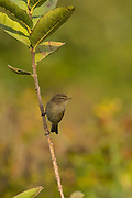 Common Chiffchaff, or simply the Chiffchaff, (Phylloscopus collybita) perched on a branch