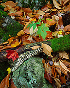 Forest floor in the flood plain of Cascade Brook, Franconia Notch, White Mountain National Forest, New Hampshire.