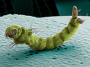 Scanning electron microscope image of a  mosquito larva (family Culicidae). The larva hatches and lives in water until it attains its adult form. It breathes air through its siphon tube (upper right), This image represents a field of view of 2 mm...