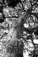 Kroatia 2012-06.<br /> Mange gamle trær i parken på Lopud, her er et av dei.<br /> Foto: Svein Ove Ekornesvåg