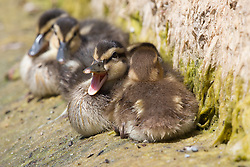 © Licensed to London News Pictures. 07/07/2013. London, UK. A brood of young mallard ducklings relax in the hot summer weather on a canal in Wapping, East London. Many ducklings are being born unseasonably late in the UK this year following cold, wet weather during the winter and spring. Photo credit : Vickie Flores/LNP