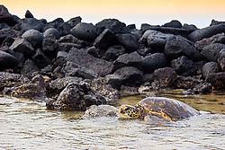 Tagged and released Green Sea Turtle, Chelonia mydas, resting at the piles of lava rocks of `Ai`Opio Fish Trap made by ancient Hawaiian, U.S. Marine Turtle Research, organized by researcher George Balazs PhD, NOAA National Marine Fisheries Service (NMFS), Hawaii Preparatory Academy (HPA) students and teachers (NOAA/HPA Marine Turtle Program), and ReefTeach volunteers at Kaloko-Honokohau National Historical Park, Kona Coast, Big Island, Hawaii, Pacific Ocean.