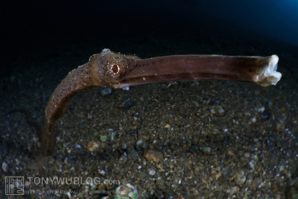 Eye-to-eye with a long, brown pipefish (Trachyrhamphus bicoarctatus). Perspective distorted by the wide-angle macro perspective of the Totomega lens