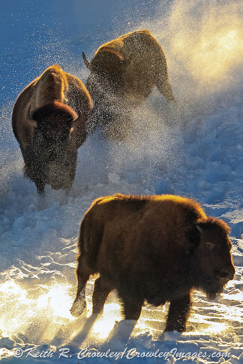 American Bison (Buffalo) run in winter Habitat