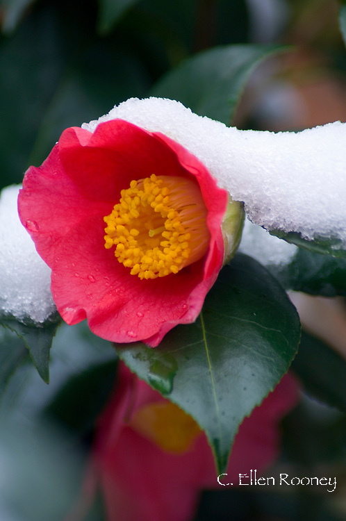 Camellia japonica covered with snow, London, UK
