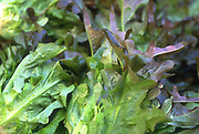 Close up selective focus photograph of some Red Oak Leaf lettuce