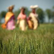 women walking by a wheat field, punjab , india