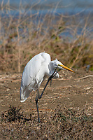 Great Egret, Ardea alba, scratching its face in Colusa National Wildlife Refuge, California