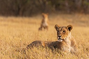 Two lionesses (Panthera Leo) waiting in the grass, for the rest of their pride to come, Savuti, Botswana