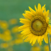 Sunflower, in front of a field of yellow flowers